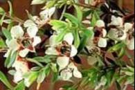 Ефірна олія чайного дерева для шкіри
