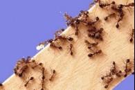 Як позбутися від домашніх мурашок?