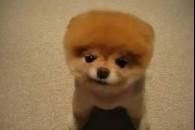 Маленькі породи собак для квартири
